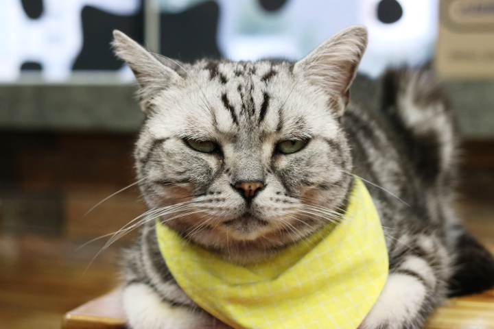 韓国の猫カフェ「猫の屋根裏部屋」のboa hancockさん