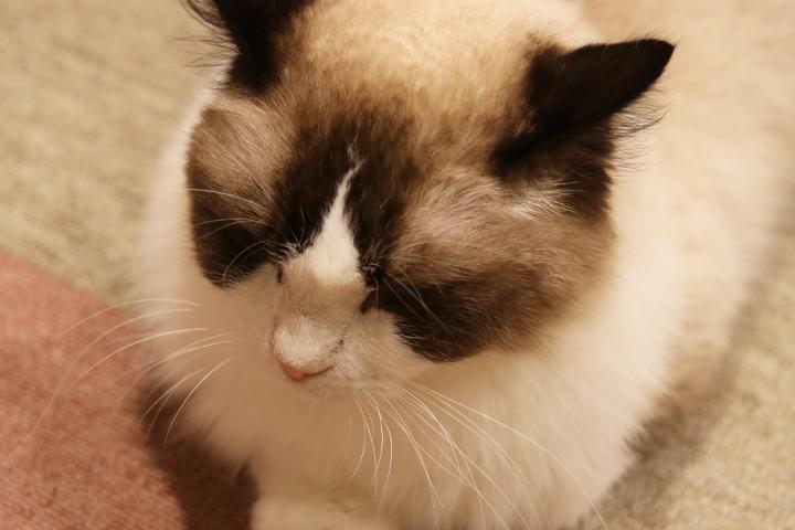 猫カフェキャテリアムのドリーくん