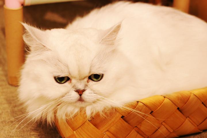 猫カフェキャテリアムの白くん