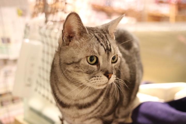 猫カフェキャテリアムのベンくん