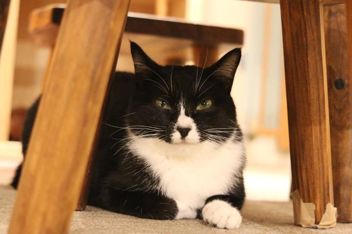 猫カフェキャテリアムのドレスちゃん