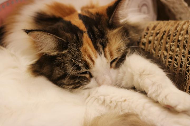 猫カフェキャテリアムのアイルーちゃん