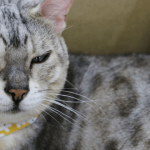 韓国のユキヒョウ柄の猫さん|猫の屋根裏部屋(コヤンイタラッパン)