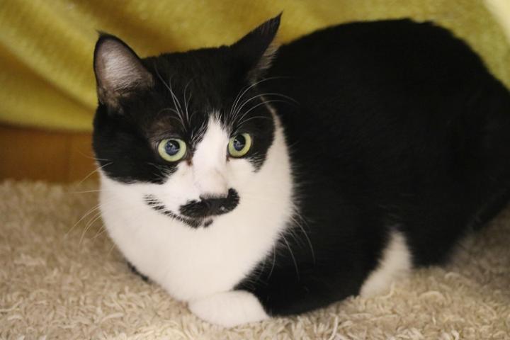 白黒ハチワレの富士さん。ちょっぴり人見知りなのですが、他の猫が懐いている人には甘えに来てくれるようです