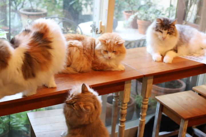 とにかくたくさんのノルウェージャン猫さんがいます!