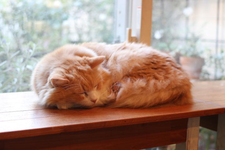 窓辺で優雅にお昼寝するノルウェージャンさん
