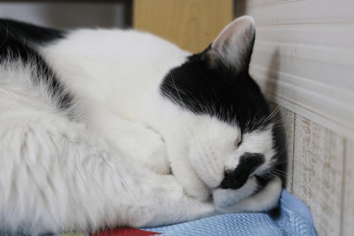 白黒のまーちくんは、訪れた日はずっとお昼寝中でした。すやすや|譲渡型猫カフェにゃんくる川崎