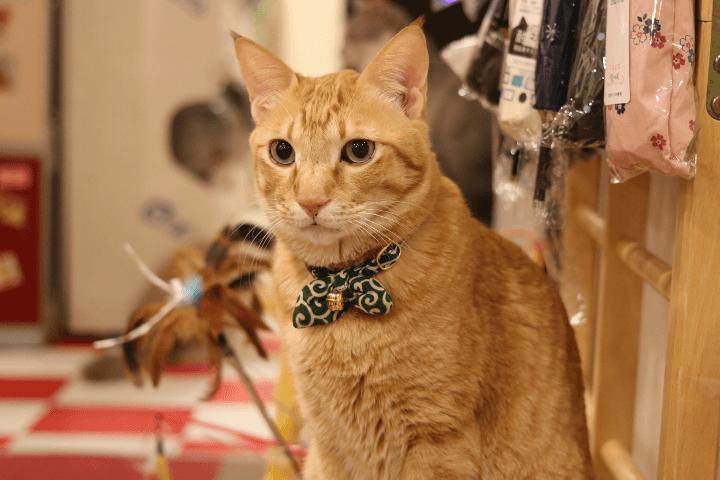 コスプレ担当(?)のちゃんぷさんは人懐こくて良い子でした〜|猫まるカフェ上野店