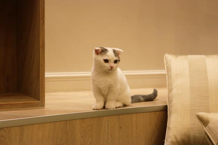 マンチカンのごましおちゃん。本当何をしててもかわいい♪|猫カフェMoCHA原宿店