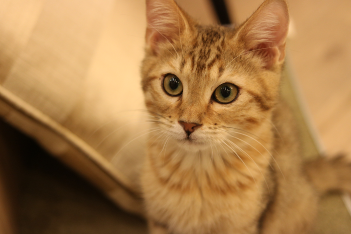 ベンガル猫さんのたいがくんは好奇心旺盛で一緒によく遊んでくれました|猫カフェMoCHA原宿店