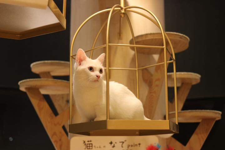 マンチカンホワイトの小町ちゃん|猫カフェMoCHA原宿店
