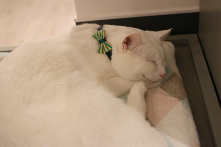 美しい白猫のこけももさん | ネコリパブリック池袋店