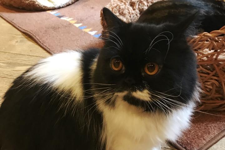 ミヌエットの「とう」くんは甘え上手 | Cat Of Liberty(旧猫の時間アメリカ村店)