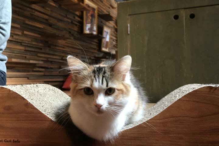 マンチカンの「おこめ」ちゃんは撫でていたらさっといなくなったと思ったら、ふとした時に膝の上に乗ってきたり、なかなかツンデレ猫さんです | Cat Of Liberty(旧猫の時間アメリカ村店)