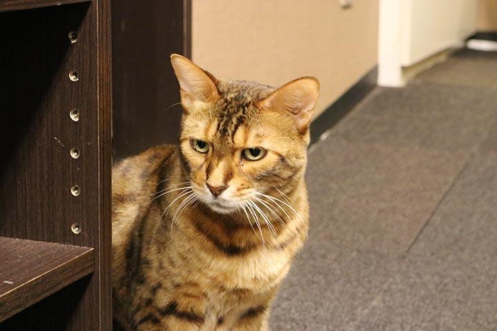 棚の後ろからこそっと広場を見る、探偵のようなベンガル猫さんのニノくん