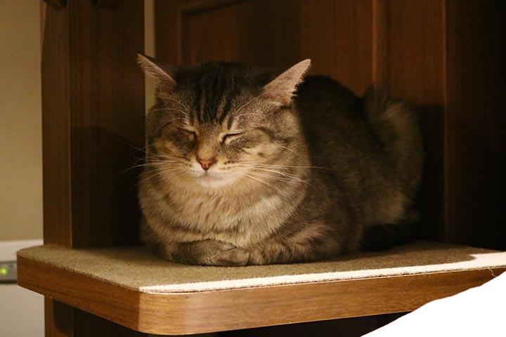 キャットタワーや棚、ソファーにチェアと、猫さんが思い思いに過ごしています