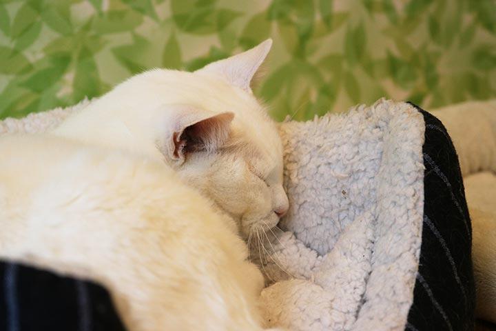白ネコの亀次郎くんは、ずーーっとお気に入りの猫さんソファーで寝ておりました