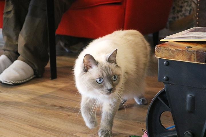 恐る恐る足を運ぶラグドールの猫さん・・・。見てて本当にかわいそうでした。
